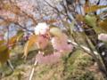 2014/04/12/サクラ「木の花桜」