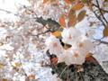 2014/04/12/サクラ「佐野桜」