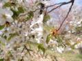 2014/04/12/サクラ「寒桜」
