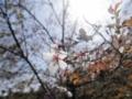 2014/04/12/サクラ「豆桜」