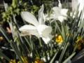2014/04/15/スイセン「タリア」