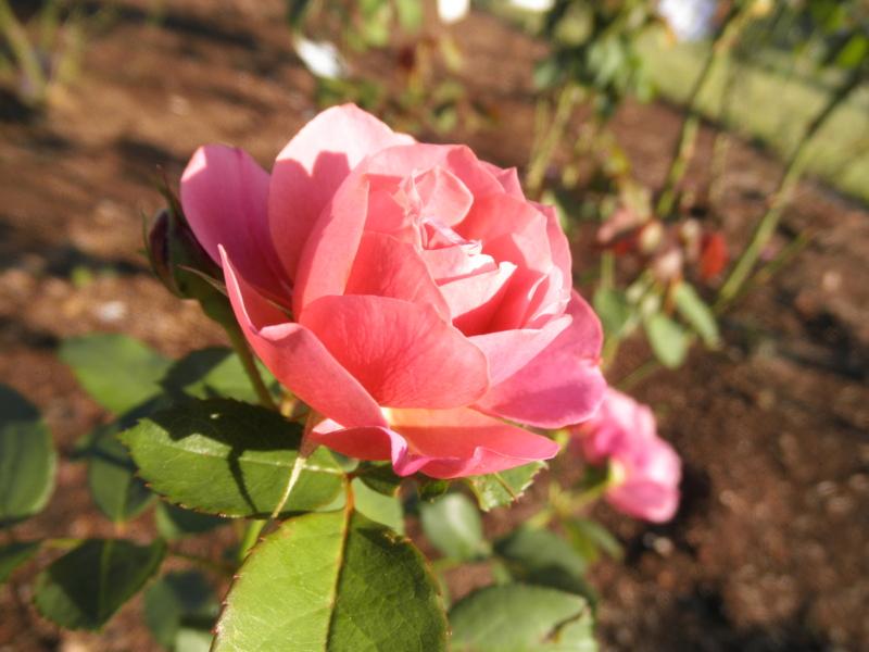 2014/10/18/バラ「あおい」
