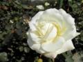 2014/10/25/バラ「ホワイト・マスターピース」(F)
