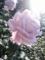 2014/10/25/バラ「ブルームーン」(HT)