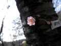 2014/10/25/サクラ「十月桜」