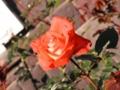 2014/11/22/バラ「ローラ」(HT)