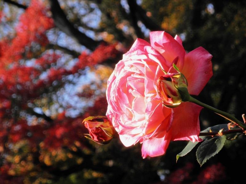 2014/11/22/バラ「朝雲」(HT)