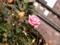 2014/11/22/バラ「アロマテラピー」(HT)
