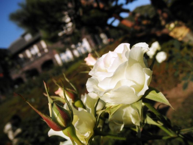 2014/11/22/バラ「緑光」(FL)