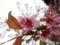 2014/12/06/サクラ「ヒマラヤ桜」