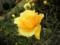 2014/12/06/バラ「ゴールド・バニー」