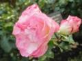 2014/12/06/バラ「ストロベリー・アイス」