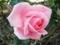 2014/12/06/バラ「プリンセス・アイコ」
