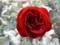 2014/12/06/バラ「ラバグルート」