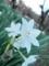 2014/12/06/スイセン「ペーパーホワイト」