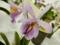 ブラソカトレア「Bc. Miracle Star 'Freckle Beauty'」