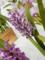 アルポフィルム「arpophyllum. laxiflorum 'Pink Lady'」