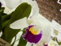 カトレア「C. trianae fma. semi alba 'White Kimera'」