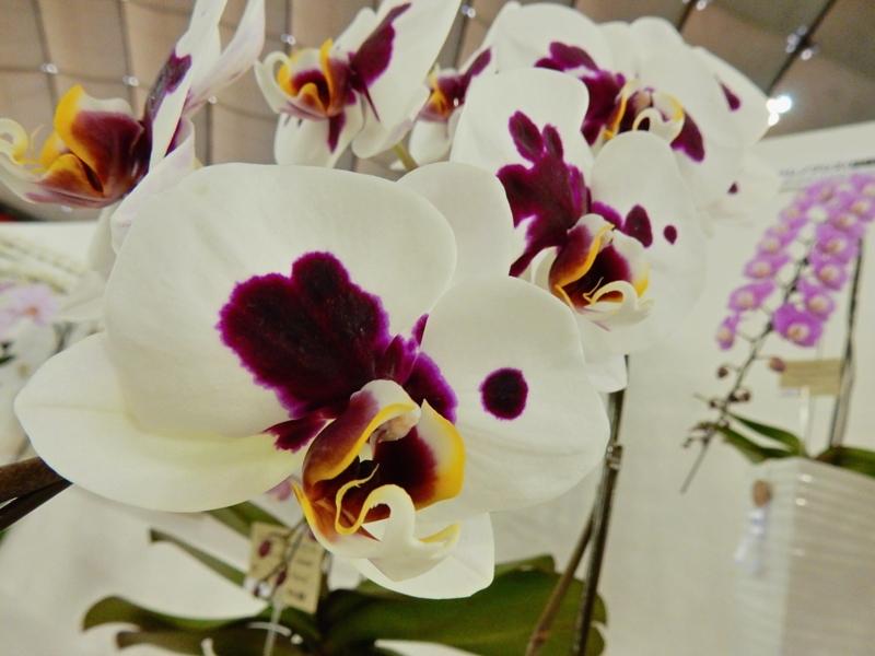 ファレノプシス「Paph. Jincheng Lover × Fuller's Purple Queen 'Grace'」