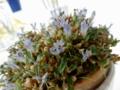 デンドロビウム「Den. parvulum 'Violet Blue'」