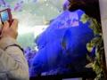 美ら海水族館「ナポレオンフィッシュ」