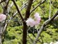 2015/04/18/サクラ「福禄寿」