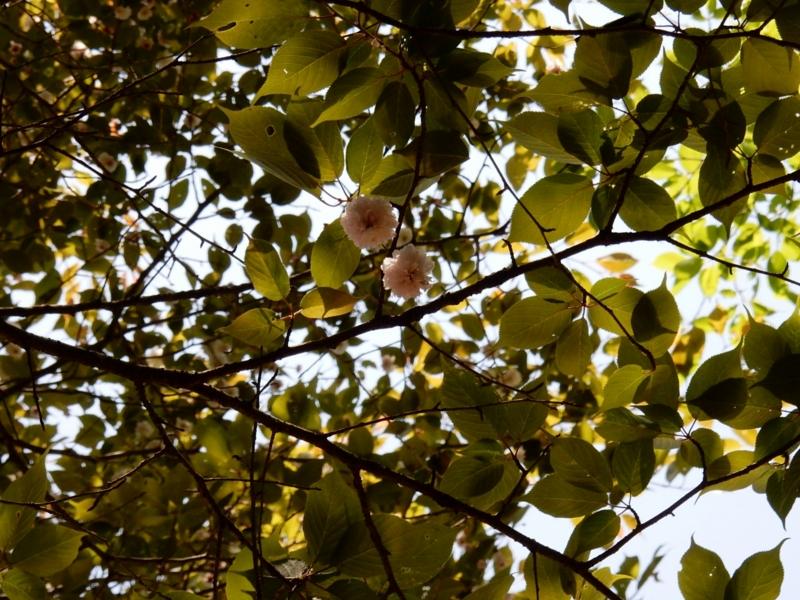 2015/04/18/サクラ「阿岸小菊桜」