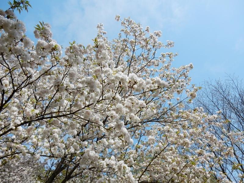 2015/04/18/サクラ「三ヶ日桜」