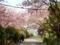 2015/04/18/サクラ4