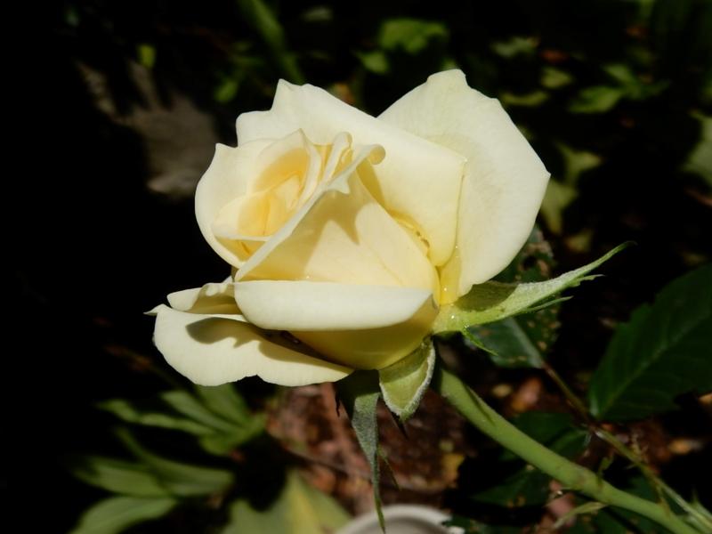 2015/05/21/バラ「ホノラ」