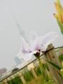 2015/06/13/ハナショウブ11