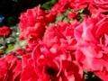 2015/07/22/バラ「ラバグルート」(F)