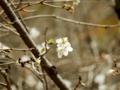 2015/11/07/サクラ「冬桜」
