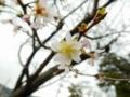 2015/11/07/サクラ「十月桜」