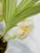 アングロラ「Ang. uniflora 'Beautiful katya'」