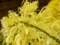 デンドロビウム「Den. speciosum 'kakio'」