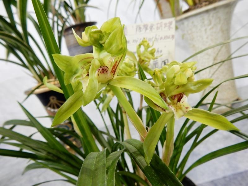 春寒蘭「薩摩余胡蝶」「Cym. nishiuchianum 'satsumayokocho'」