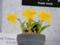 カトレア「C. coccinea fma. aurea 'Nice One'」
