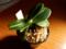 2016/02/16/ナゴラン「明丸縞」「Phal. japonica」