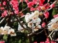 2016/02/19/ウメ「オモイノママ」「紅千鳥」