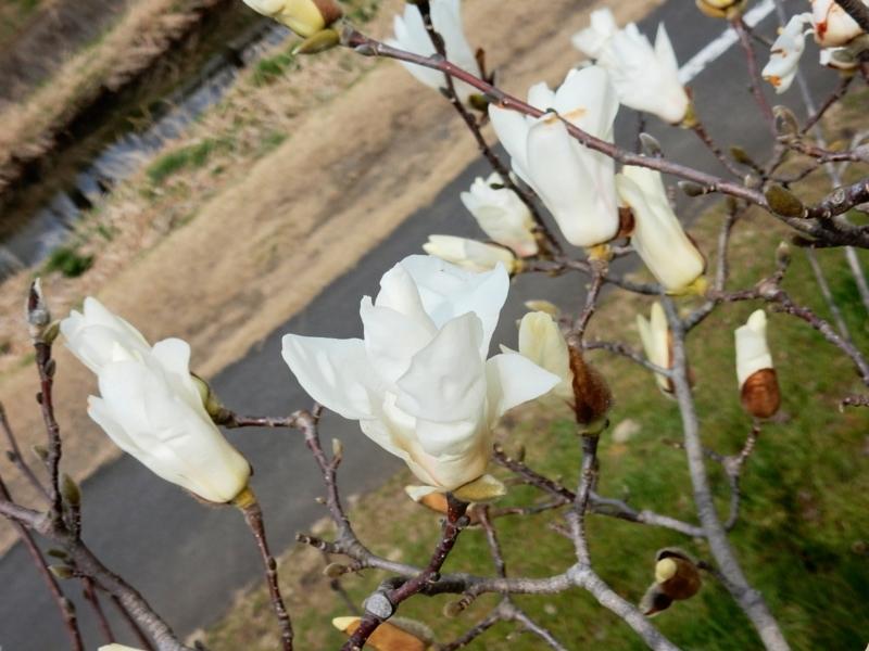 2016/03/16/ハクモクレン