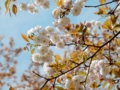 2016/04/09/サクラ「木の花桜」