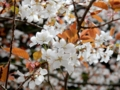 2016/04/09/サクラ「山桜」