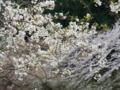 2016/04/09/サクラ「枝垂大臭桜」