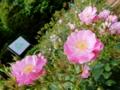 2016/05/08/バラ「ラベンダードリーム」