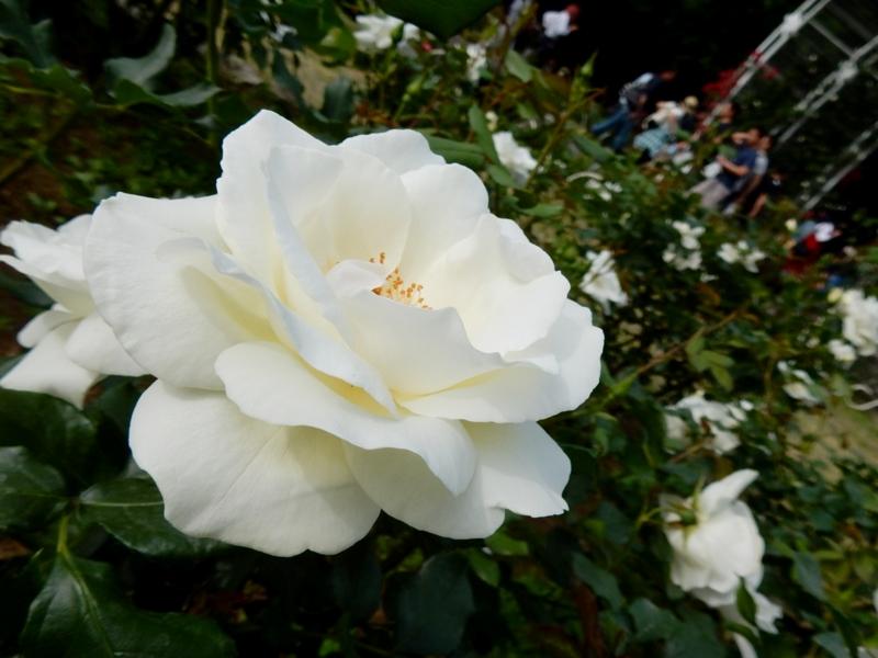 2016/05/08/バラ「ホワイトマジック」