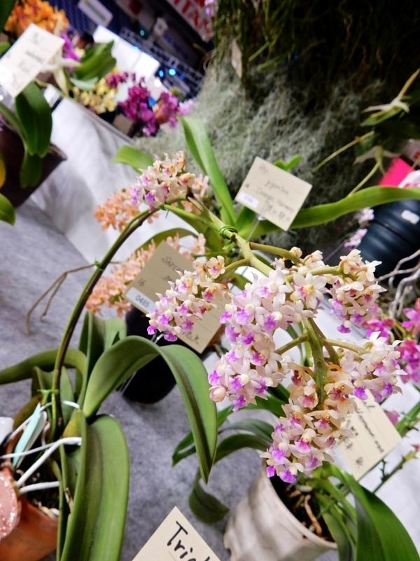 サルコフィトン「Sarcophyton. pachyphyllum'Noi'」?