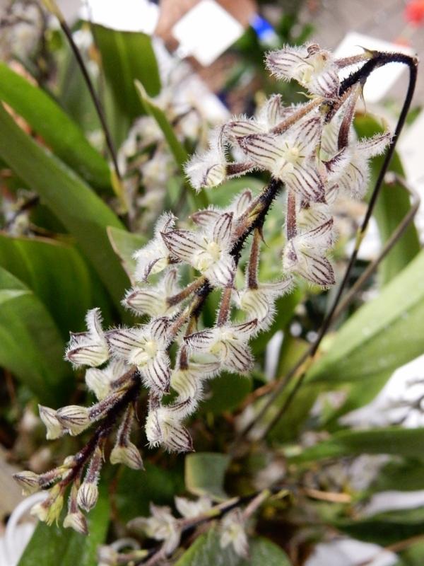 バルボフィラム「Bulb. lindleyanum'Seijikun'」