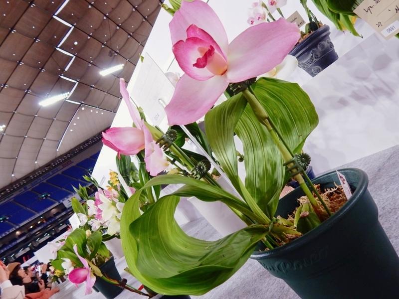 リカステ「Lyc. Spring Present'Kannon Sakura'」