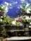 バラ盆栽1
